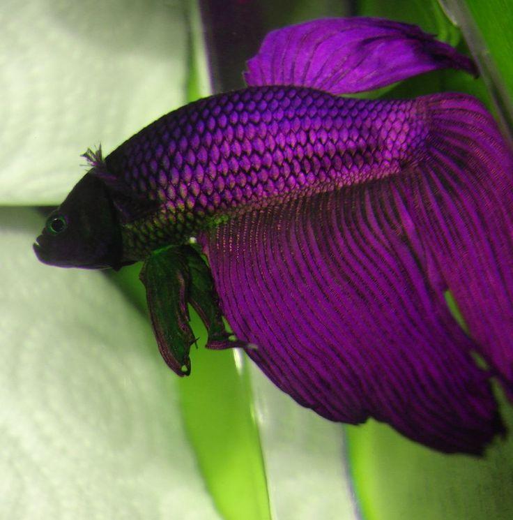 betta colors | ... purple plakat betta fish. On the right is a purple veiltail betta