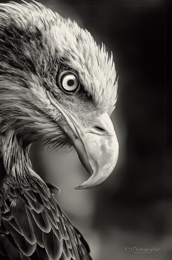 Amazing nature wild life photography animals bird black and white power eagle