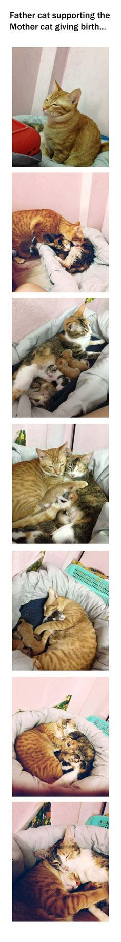Father cat supporting mother cat while she gives birth