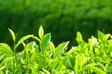 Cold Hardy Tea Plant for Sale