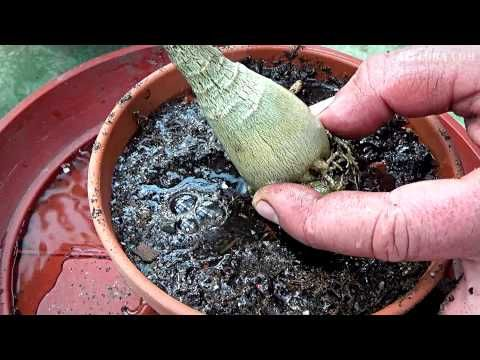Adenium transplanting and pruning - YouTube