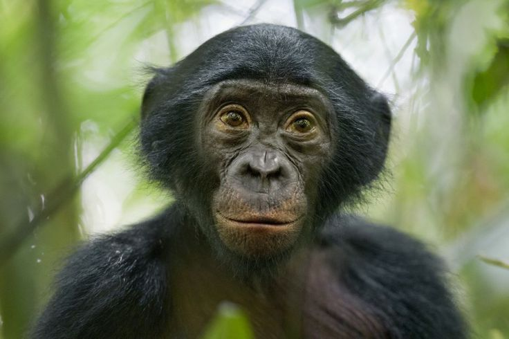 25 January 2011 A five-year-old bonobo turns out to be the most curious individual of a wild group of bonobos near the Kokolopori Bonobo Reserve, in the Democratic Republic of Congo.