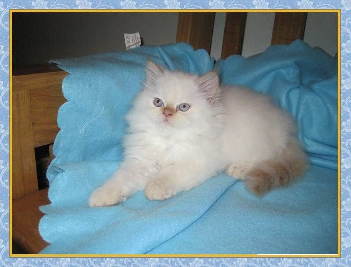 Flame point himalayan kittens for sale florida
