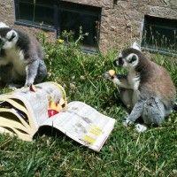 lemur enrichment