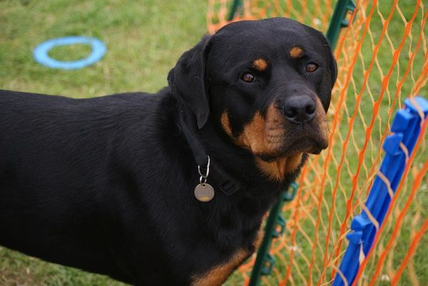 Rottweilers are often portrayed as vicious dogs that wear spiked collars and attack people. The truth is that they are very intelligent, loyal, willing, calm, and powerful creatures. These traits make them suitable for police dogs, service dogs, therapy dogs, herders and devoted companions.