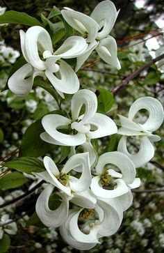 'Magic Dogwood' - Cornus florida subspecies urbiniana - is a rare Mexican version of the common American Dogwood tree.