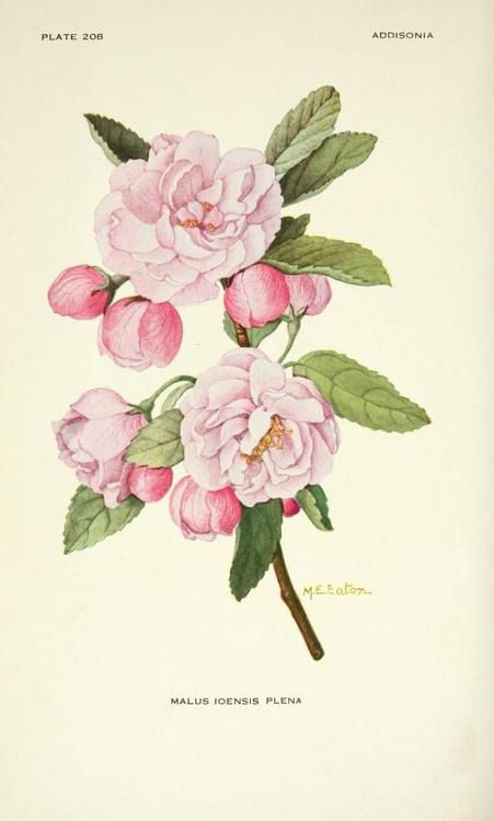 Malus Ioensis Plena (Bechtel's Crab Apple). Plate from 'Addisonia' Published 1916 by New York Botanical Garden archive.org