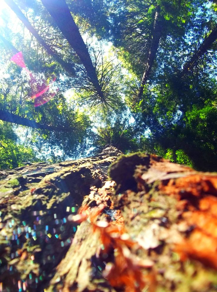 Pine Trees. By Christy-Lynn Breetvelt