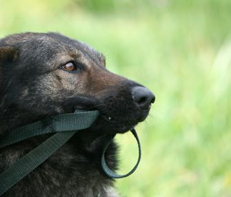 Sometimes dogs think their leash is the perfect portable chew or tugging toy. Trainer Mikkel Becker offers advice to help your dog to walk politely on leash.