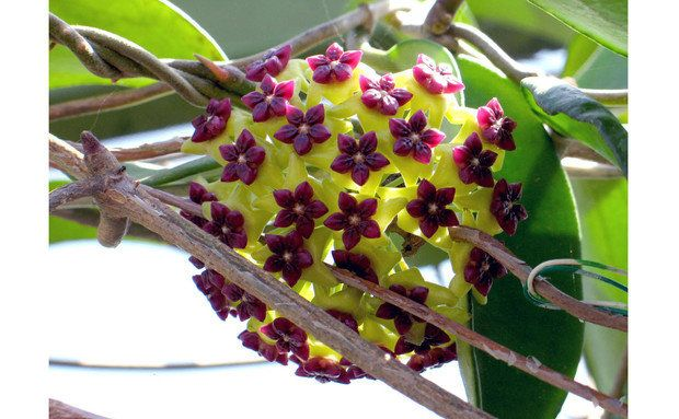 Já as flores do gênero Hoya parecem de mentira. São ao menos 200 espécies e combinações diferentes de cores, como as desta H. cinnamomifolia, que lhes renderam o apelido de flores de cera (ou de porcelana)