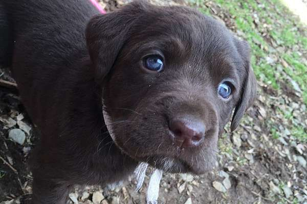 4 chocolate male puppies   Mother is pure chocolate lab/father is pure yellow lab  Born February 5, 2016  Ready to go to new home at 8 weeks (first week of April)  Family pet has puppies for sale. Our puppies are played with daily and are great with children. They are full bred labs.