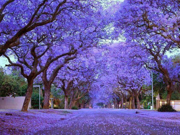 Jacarandas in Cullinan, South Africa