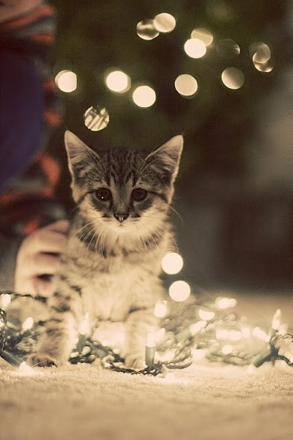 Kitten and fairy lights #aww