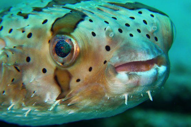 17 best images about puffy on pinterest animal pictures for Puffer fish for sale