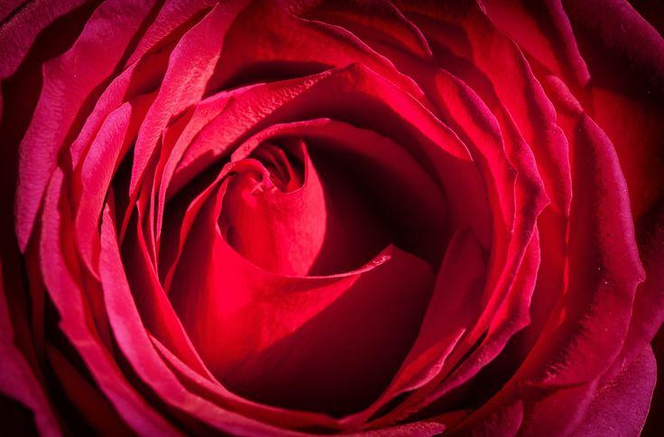 3840x2532 rose 4k image hd