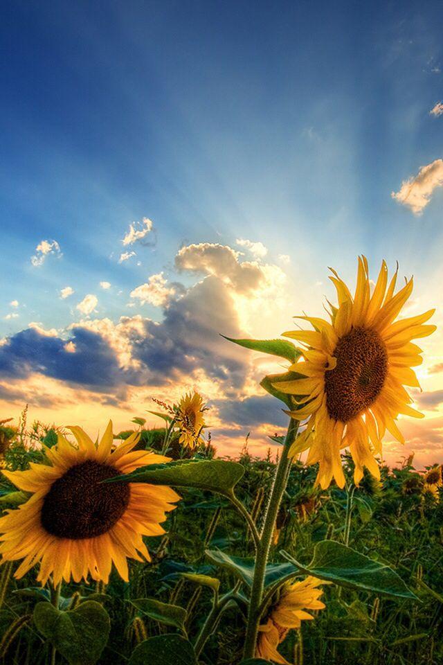 Imagem De Sunflower Flowers And Sky