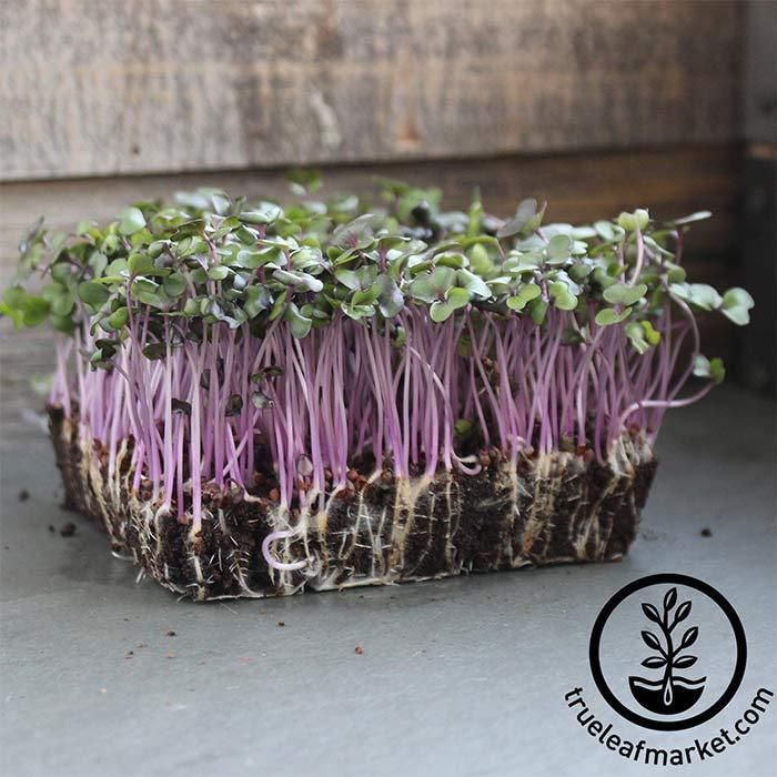 Cabbage Red Acre Microgreens Seeds Microgreens Growing