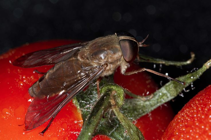 Fly on Tomatoes Using a Canon macro lens 1:1 and flash ring. Copyright Sharon L Wood 2013 #macro #photography #insect #food
