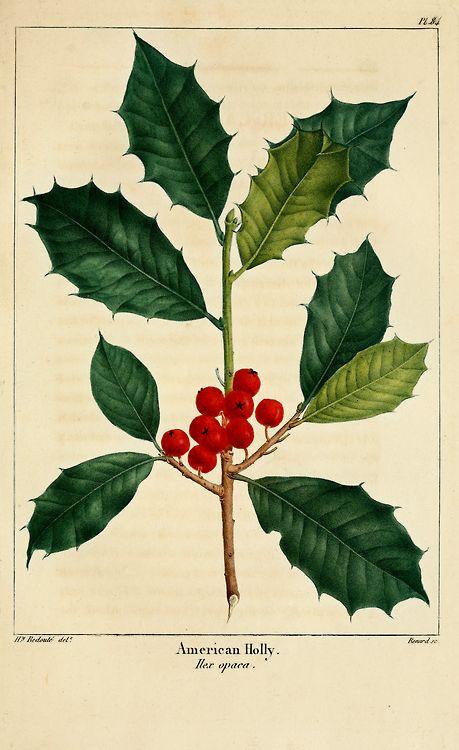 American Holly (1819). FromNorth American Sylva illustrations.