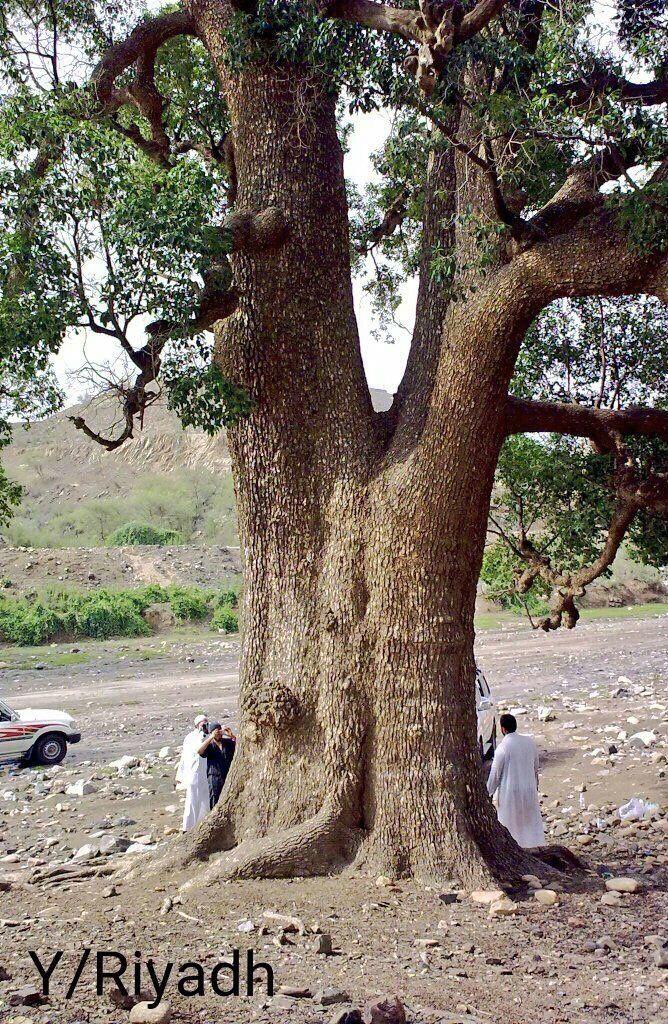 شجرة On Twitter Tree Plants Saudi Arabia