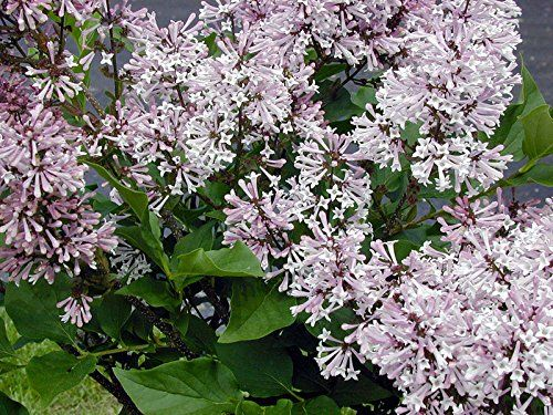 Lilac Syringa patula 'Miss Kim'- 3.5″ Healthy Potted Plant – 3 Pack by Growers Solution