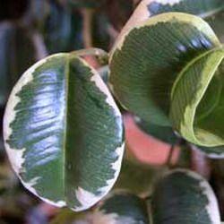 23. Ирэн, Irene — листья темно-зеленые с белой окантовкой, лист имеет широкую и округлую форму, слегка закручен внутрь.