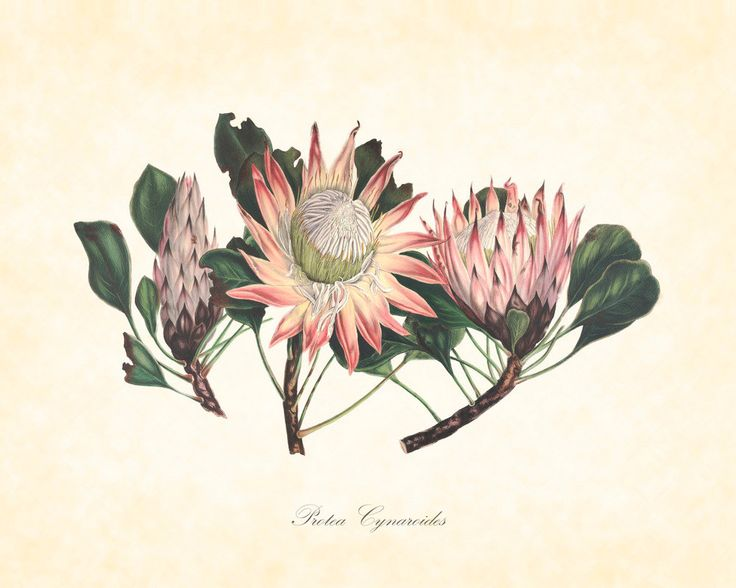 Antique Botanical Protea Cynaroides Plate 8 1849 8 x 10 Art Print |