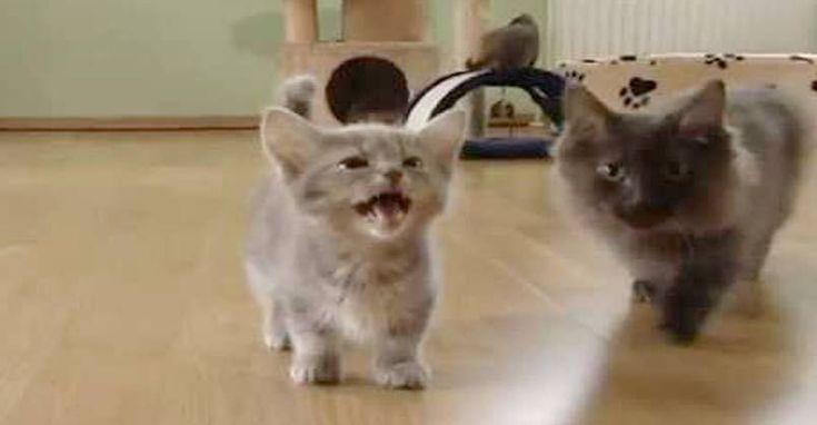 Geschwätziges Munchkin-Kätzchen! #catniphumor   – cats breeds