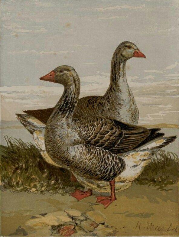 картинка курицы гуся утки может стать замечательным