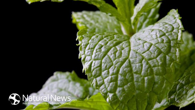 10 Best Benefits and Uses of Peppermint Essential Oil