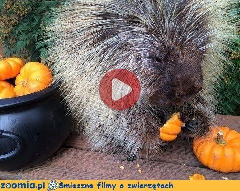 Czas na dynie « Inne zwierzęta « Śmieszne filmy o zwierzętach - śmieszne koty, śmieszne psy. Zoomia.pl :: Zoomia pl