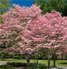 Pink Dogwood for Sale
