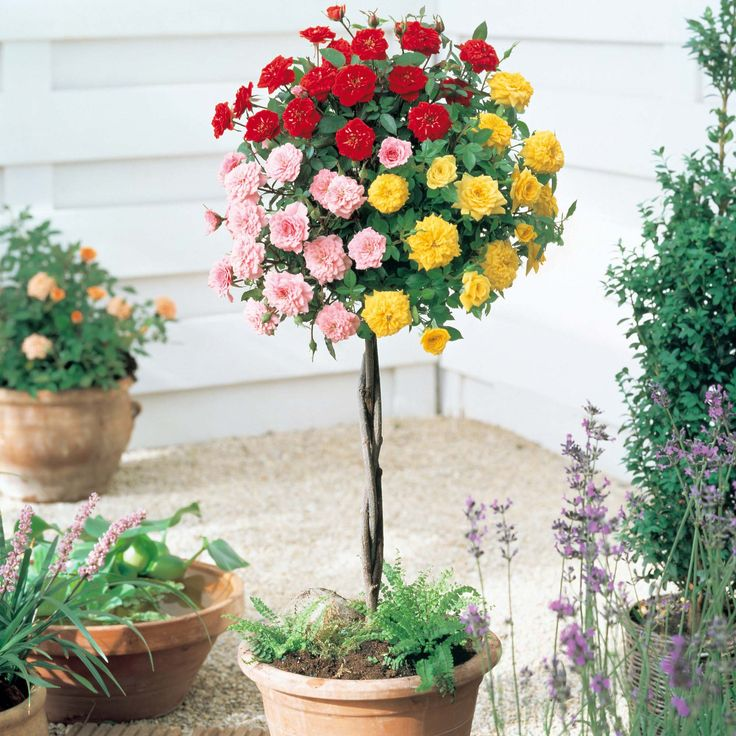 Rose Plants | Flowers Flower Plants Patio Plants Rose U0027Tricolouru0027 (Standard)