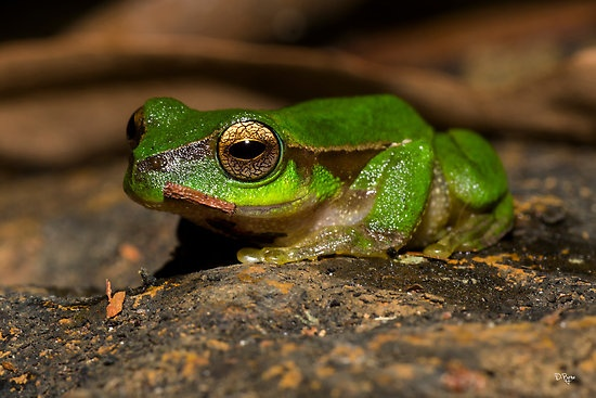 """""""Cascade Tree Frog"""" by D Byrne 