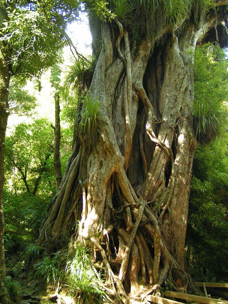 The biggest rata tree in the country, Ngamoko Track, NP Te Urewera, NZ