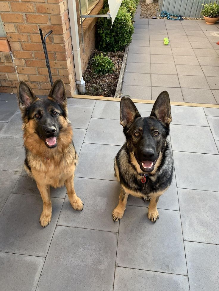 Meet Tully 15 Month Old Black And Tan F And Tori 11 Month Old Sable F Germanshepherd Black German Shepherd German Shepherd Puppies Shepherd Puppies