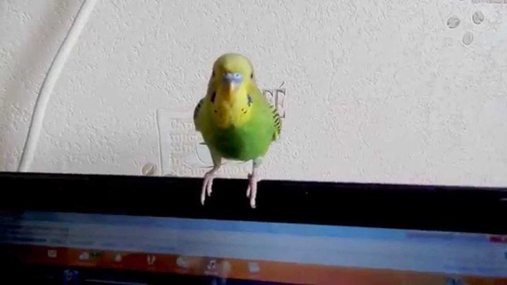 Ржака. Наш 2-х месячный попугайчик Кроша танцует!!! 2.11.2015