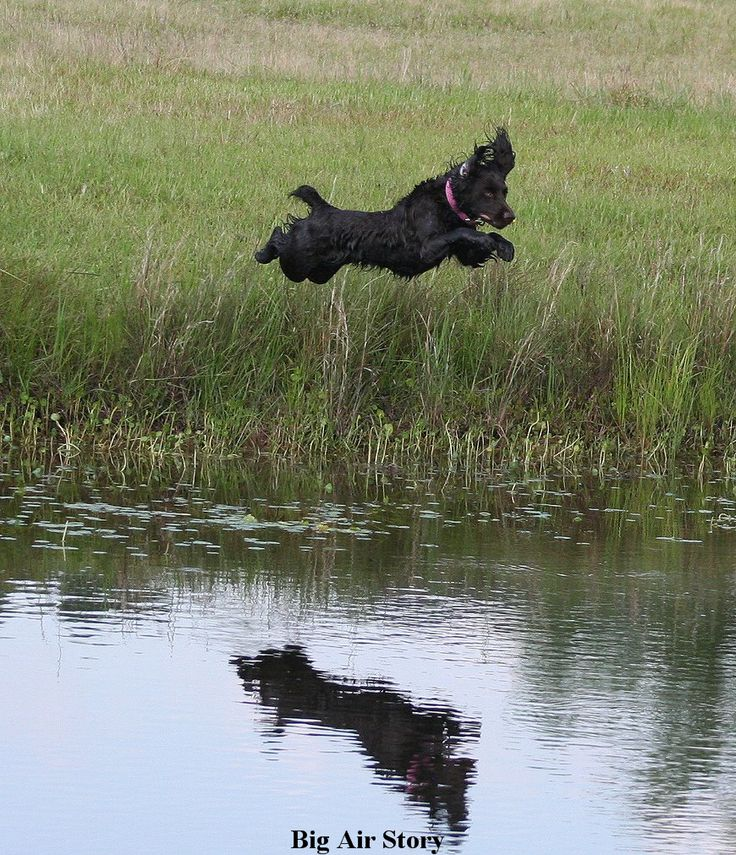 15 best a dogs life images on pinterest boykin spaniel puppies please a little enthusiasm will ya lol this reminds me of my little solutioingenieria Images