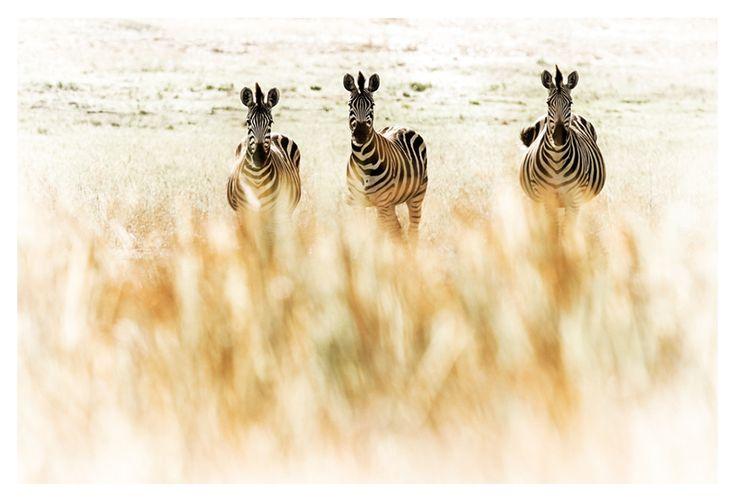 zebra through long grass print
