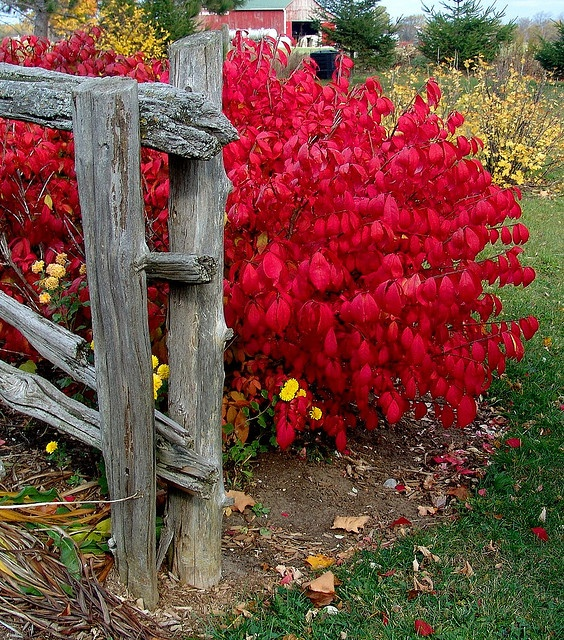 Burning Bush shrub - I should feel guilty because I planted it & it's on the invasive species list to be avoided.