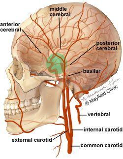 Brain bones anatomy