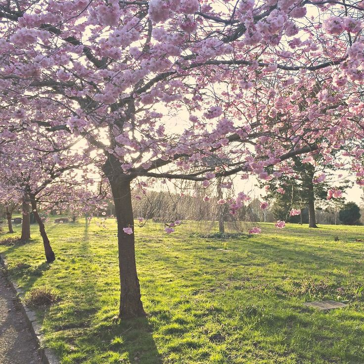 Cherry Blossom Bispebjerg Kirkegård