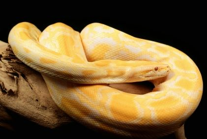 albino burmese python. i want one someday. they're gorgeous.