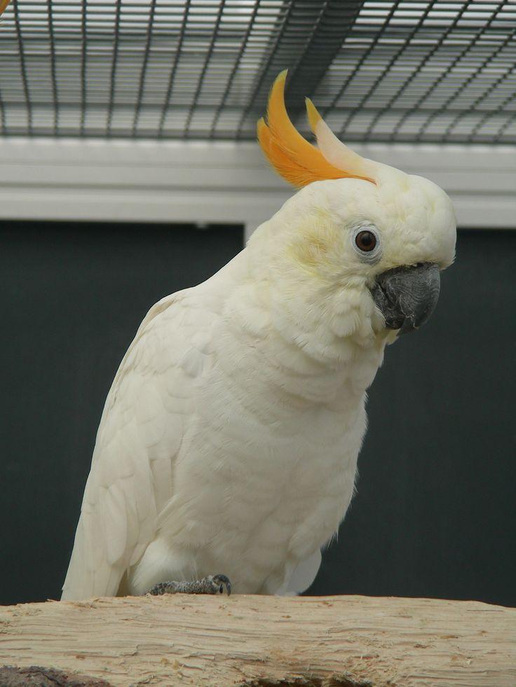 Citron cockatoo - photo#15