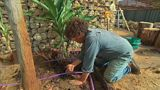 An edible oasis.  Josh's new food garden takes shape with edible plants including bananas trees, black cardamon, pawpaw, lemongrass, and ornamental sweet potato vine.