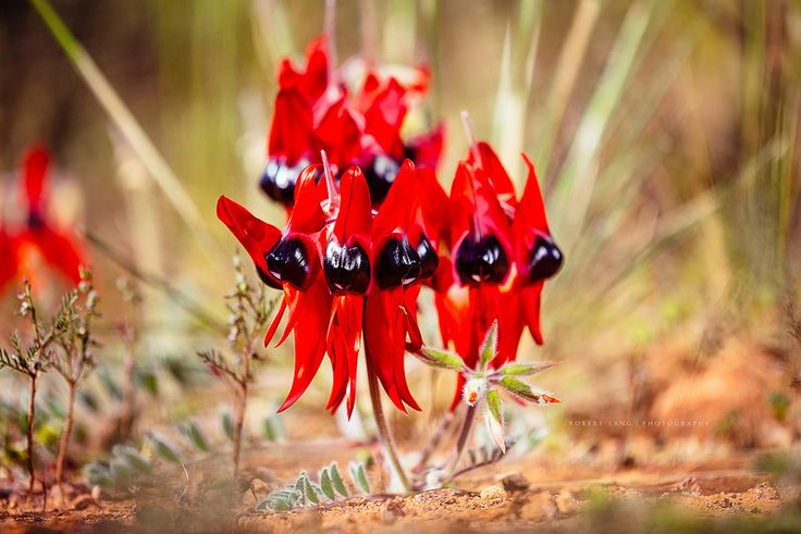 Sturt Desert Pea flower, Gawler Ranges, South Australia