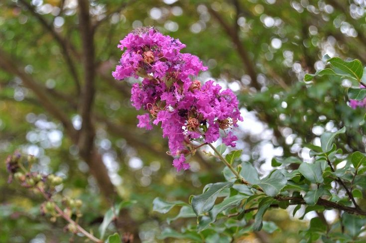 Lagerstroemia 'Zuni'  (Crape Myrtle)  Plant Story:  A semi-dwarf, multi-stemmed shrub. The young foliage has a shiny red edge and becomes deep green. It grows from 8 to 10 feet tall and has a 7 to 9 feet spread with a rounded top. The large, rich dark lavender colored flowers are displayed from mid-July through the month of September!  Plant Details   RightPlantz.com  #flower #garden #gardening #plants #crapemyrtle