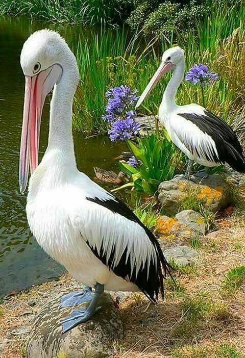 Pelicans  nice shot!