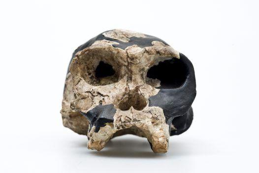 Homo habilis skull front view, australian nat museum