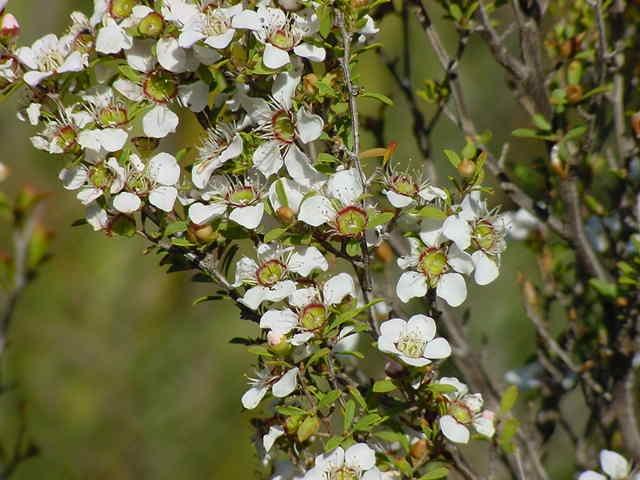 Medium Bushy - Leptospermum Myrsinoides Heath Tea Tree (Local)